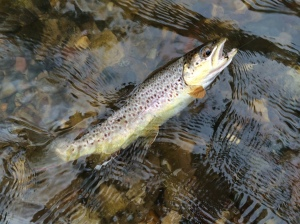 The fruit of Tim's labors: a nice 10 inch brown trout.